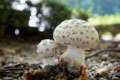 Couple of white Mushrooms Royalty Free Stock Photos