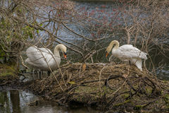 A white swan couple on huge nest. Stock Photography
