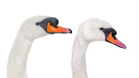 Couple of white mute swans, isolated. Couple of white mute swans,  isolated Royalty Free Stock Photos