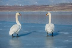 A couple of white mute swans with orange beaks on ice. A couple of white mute swans with orange beaks and bird rings on legs standing on frozen lake making a stock image