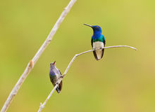 Couple of White-necked Jacobin Stock Photos