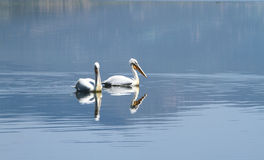 Couple of white pelicans Stock Image