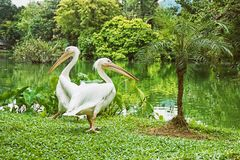 Couple of White pelicans - Pelecanus onocrotalus - standing on grass royalty free stock photography