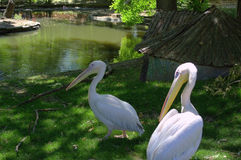 White pelicans couple on pond bank Stock Photo