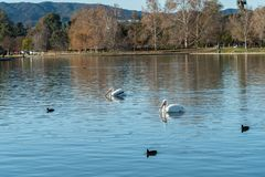 A couple of white pelicans swimming in the Lake Balboa in Los Angeles. California royalty free stock image