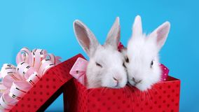 A couple of white rabbits with pink bows in present box stock footage