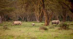 Couple of white Rhino in Africa Royalty Free Stock Photo