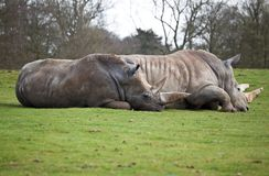 A couple of white rhinos lying in a field Royalty Free Stock Photos