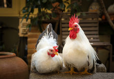Couple of white rooster Chicken Royalty Free Stock Image
