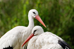 Couple of white storks Royalty Free Stock Photos