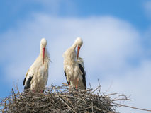 Couple of white storks Cicocina ciconia grooming in the nest stock photography