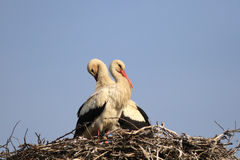 Couple of white storks (Ciconia ciconia) Royalty Free Stock Image