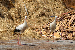 Couple of White storks Royalty Free Stock Photography