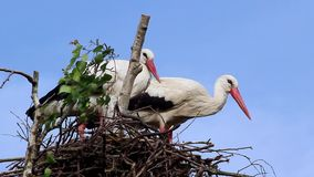 Couple of White Storks in the Nest. Couple of White Storks (Ciconia Ciconia) in Nest stock footage