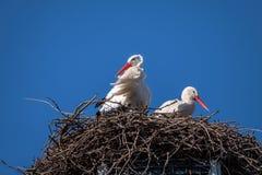 Couple of white storks nesting royalty free stock images
