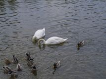 Couple of white swan diving heads into pond with group od duck a Royalty Free Stock Photo