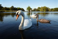 Couple of white swan with nestling Stock Image
