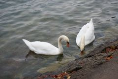 Couple of white swan. White swans on the Hallstatt lake, Austria Royalty Free Stock Photo
