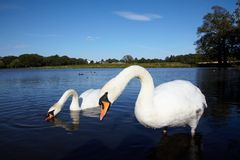 Couple of white swans Stock Photography