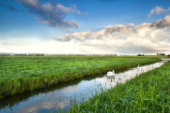 Couple of white swans on canal in early morning Royalty Free Stock Photos