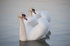Couple of the white swans. On the danube river in belgrade serbia... in the last years a lot of wild swans coming close to the river side and people feed them Stock Photo