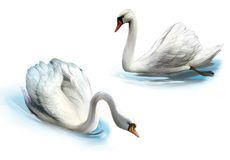 Couple of white swans, royalty free illustration