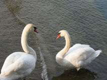 Couple of white swans on the lake Stock Image