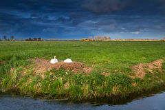Couple of white swans on nest at sunset Royalty Free Stock Image