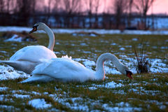 Couple of white swans on pasture at sunset Stock Images