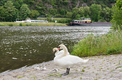Couple of white swans resting with young chicks in the front royalty free stock photos
