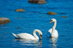 Couple of white swans stock photo