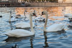Couple of white swans at sunset royalty free stock images