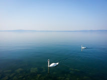 Couple of white swans swiminng on quiet lake Stock Images