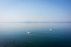 Couple of white swans swiminng on quiet lake Stock Photo