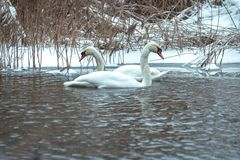 Couple of white swans swimming in cold water in winter time stock photography