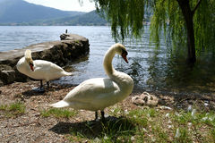 Couple of white swans and their four baby swans reposing at lake Como in summer. Stock Images