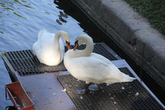 A couple of white swans stock photography