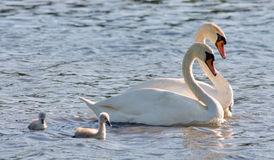 Couple of white swans and young cygnets Royalty Free Stock Photography