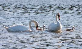 Couple of white swans and young cygnets Stock Photography