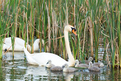 Couple white swans with youngs Royalty Free Stock Photo