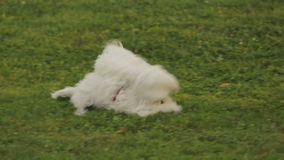 Couple of white terriers fighting jokingly in park, happy dogs playing outside. Stock footage stock footage