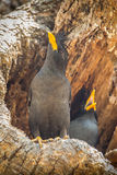Couple of White-vented Myna Royalty Free Stock Image