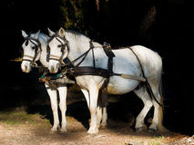 Couple of  white work horses with harness  hitched to a wagon. Couple of  white work horses  with harness hitched to a wagon. Dark background Stock Photos