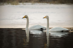 Couple of whooper swans Stock Images