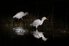 Couple of whyte egypt egrets royalty free stock photo
