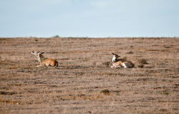 Couple wild antelopes Royalty Free Stock Photos