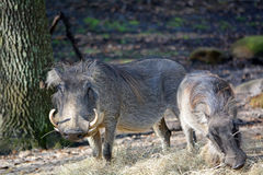 Couple of wild boars. With big canines Royalty Free Stock Photo