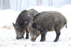 Couple of wild boars at winter Stock Image