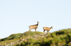 Couple of wild chamois Royalty Free Stock Photos