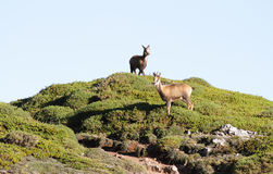 Couple of wild chamois Stock Images